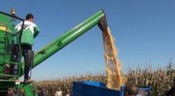 玉米籽粒机收,烘干跟不上也白搭